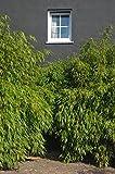 Immergrüner Schirmbambus'Rufa' (Fargesia rufa) - Winterharte Bambus-Pflanze ohne Ausläufer von Garten Schlüter