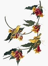 Audubon Warbler Nyellow Or Rathbone Warbler (Setophaga Petechia Formerly Dendroica Petechia) After John James Audubon For His Birds Of America 1827-38 Poster Print by (18 x 24)