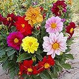 B/H Flores Semillas Planta Bonsai,Semillas de Dalia perenne Resistentes enanas para Uso en Exteriores en Patios-Mezcla de Colores_500g,Semillas de Plantas Verdes