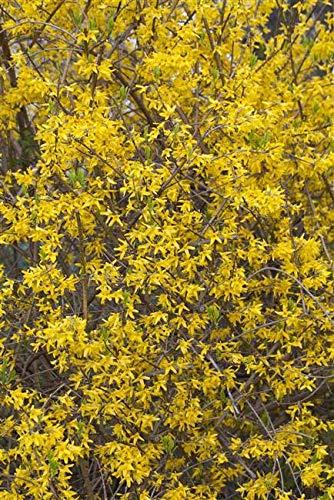 Forsythia 'Lynwood' Forsythie im Topf gewachsen ca. 40-60cm