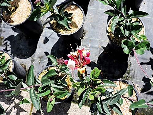 1 Stück Lonicera serotina (Jelängerjelieber/Duftgeißblatt) Topfware 60-100 cm hoch,