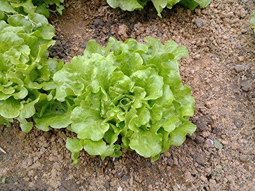 20 graines / paquet de légumes balcon bonsaï graines quatre saisons de graines de laitue