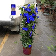 100pcs/bag Mandevilla Sanderi(Dipladenia sanderi) Seeds,Potted Balcony,Bonsai Flower Potted Plant Seeds for Home Garden