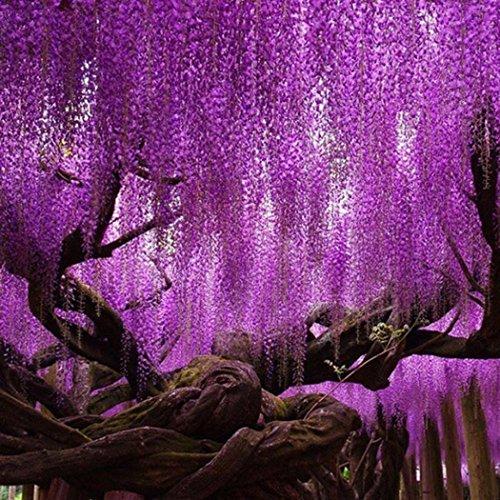 AIMADO Samen-5 Stück Japanische Blauregen Samen Exotische bio blumensamen Wisterie, winterhart mehrjährige Pflanze ideal für Garten, Balkon & Terrasse