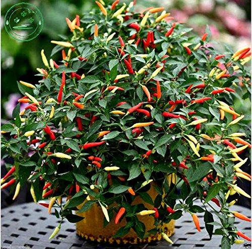 Graines de légumes panier de feu Hot Chilli Pepper Chili Graines de plantes décoration de jardin 100 PCS bl1