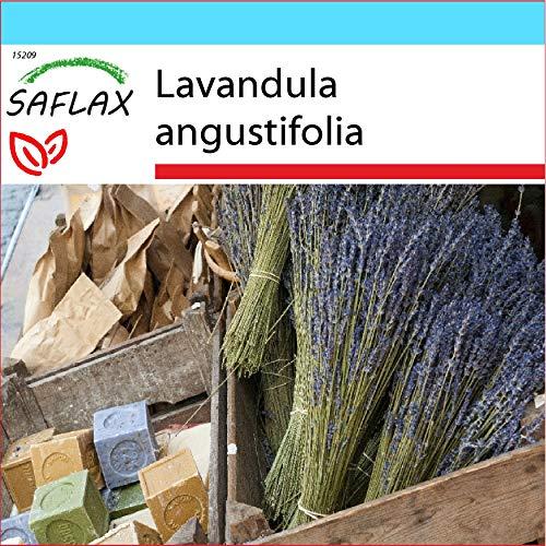 SAFLAX - Kit cadeau - Lavande vraie - 150 graines - Lavandula angustifolia