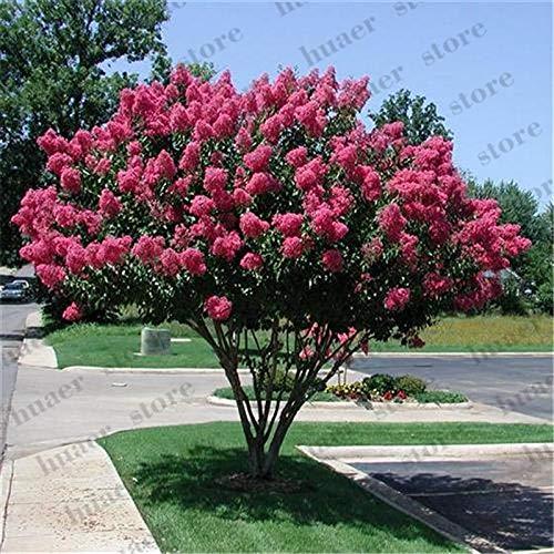 HONIC 100pcs Kreppmyrte Lagerstroemia Indica 'Natchez' mehrjährige Blume Bonsai Pflanze Hof Myrte Blumen für Gartendekoration: 1