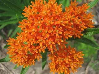 asclepias tuberosa orange glory