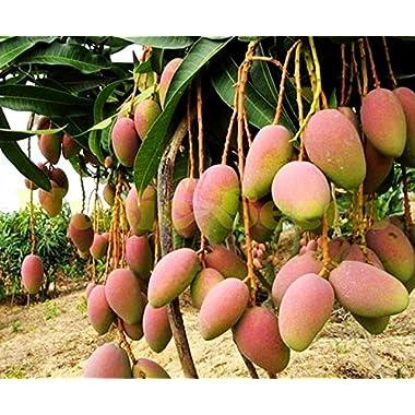 1bag=2pcs GIANT MANGO TREE seeds rare HERB exotic delicious fruits seeds mini potted cherry bonsai home & garden
