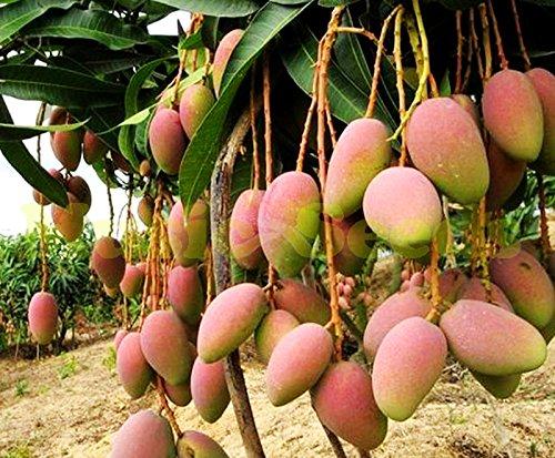 1bag = 2pcs graines GIANT manguier HERBES rare exotiques délicieux fruits graines mini-pot bonsaï cerise maison & jardin livraison gratuite