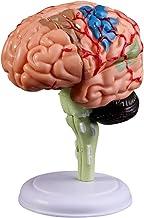 YTXTT Modelo anatômico do cérebro humano desmontado 4D, ferramenta de ensino médico de anatomia de montagem, estátuas escu...