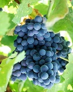 HEIRLOOM NON GMO Blue Concord Grape 5 seeds