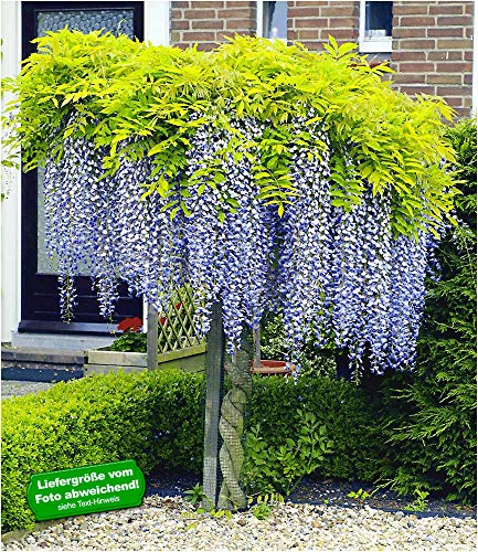 BALDUR Garten Blauregen Stamm