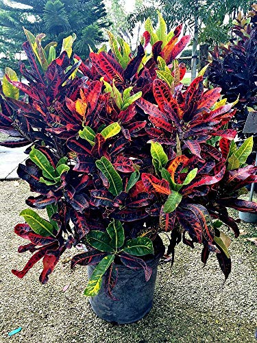 FERRY Bio-Saatgut Nicht nur Pflanzen: Kroton 'Kongo', Croton - 100 Seeds Glon