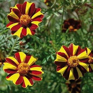 David's Garden Seeds Flower Marigold French Court Jester SL0335 (Multi) 100 Non-GMO, Heirloom Seeds