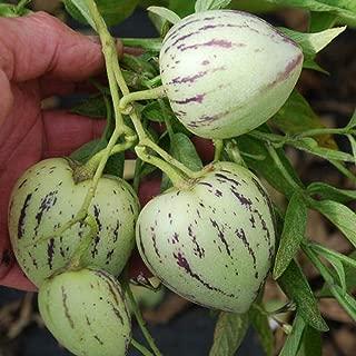 100 Rare Pepino Dulce Melon Tree Seeds High Viable Bonsai Tree Seed Exotic Plant