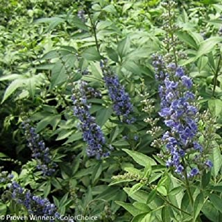 Blue Diddley Chaste Tree - 4 Pot- Vitex agnus-castus ''SMVACBD'' ppaf; cbraf by Hirts: Trees & Shrubs