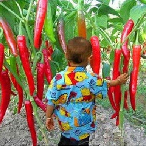 KimcHisxXv Pfeffer Samen, 10 StüCke Hausgarten Seltene RiesengewüRze WüRzig Red Chili Pepper GemüSe Pflanzen Samen