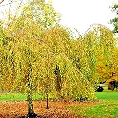 PLAT FIRM Germination Les graines: 30 Youngs Weeping GRAINES Birch - Betula pendula 'Youngii'