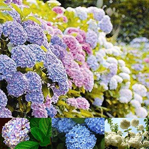 En soldes! graines de hortensia 100pcs / pack, balcon en pot, la plantation est simple, le taux de bourgeonnement de 95%, l'absorption de rayonnement, couleur mélangée