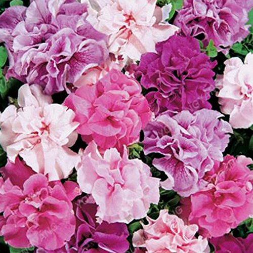 100pcs Petunia Seeds Four Seasons peut être planté 25 sortes de couleurs Pétunia Graines de fleurs Bonsai pour le bricolage jardin Plantation Rouge
