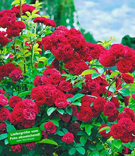 BALDUR Garten Rambler-Rosen 'Chevy Chase', 1 Pflanze Kletterrose winterhart mehrjährige Kletterpflanze