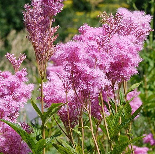 20 Seeds of Filipendula rubra - 'Queen of The Prairie'. Fragrant Rare Perennial Wildflower with Puff Like Pink Blooms