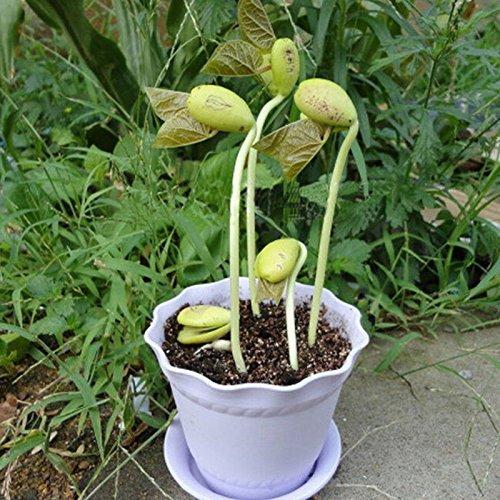 Growing Hot Sale 50pcs Mini Magic haricots blancs Graines Plante cadeau Accueil message Bureau de mot d'amour