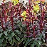 Euphorbia amygdaloides 'Purpurea' 15cm Pot Size