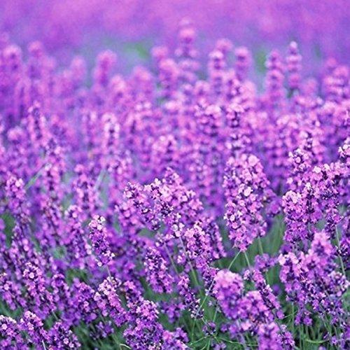 Inovey 200Pcs Provence Graines De Lavande Parfumé Organique Fleurs Graines Maison Jardin Bonsaï Plante