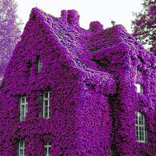 Keland Garten - Lila Winterharter Efeu Rank- und Kletterpflanzen Samen 100pcs für Wände, Zäune, Rankgerüste und Pergolen