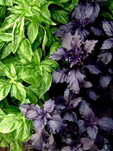 Duo graines Aromatiques - BASILIC Pourpre et Vert - mélange à découvrir