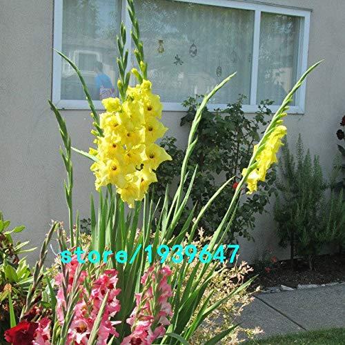 Bloom Green Co. Vente chaude Graines Jaune glaïeul Jardin et Patio Jardin Fleurs en pot Gladiolus Graines de fleurs vivaces 100PCS: 2