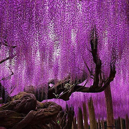 TENGGO Egrow 15 Unids/Bolsa Raro Wisteria Flor Semillas Púrpura Wisteria Sinensis Dulce Semillas para Plantas de Jardín de Casa Sims Flor Semillas