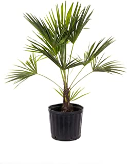 AMERICAN PLANT EXCHANGE Windmill Palm Tree - Cold Hardy 2ft Height Live Plant, 3 Gallon, Indoor/Outdoor Air Purifier