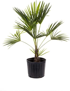 AMERICAN PLANT EXCHANGE Windmill Palm Tree - Cold Hardy 2ft Height Live Plant, 2 Gallon, Indoor/Outdoor Air Purifier