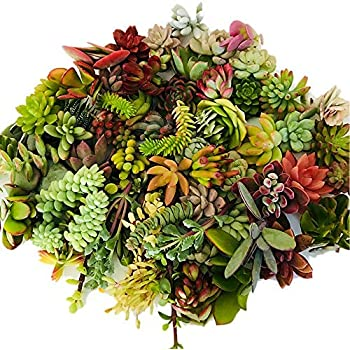 Live Succulent Cuttings 10 Assorted Varieties Beginners Succulent Plants, No 2 Cuttings Alike, Great for Terrariums, Mini Gardens, and as Starter Plants