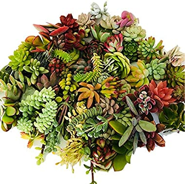 Live Succulent Cuttings 10 Assorted Varieties Beginners Succulent Plants, No 2 Cuttings Alike, Great for Terrariums, Mini Gar