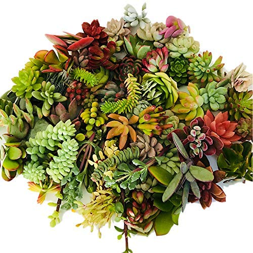 Live Succulent Cuttings 10 Assorted Varieties Beginners Succulent Plants, No 2 Cuttings Alike, Great for Terrariums, Mini Gardens, and as Starter Plants by The Next Gardener