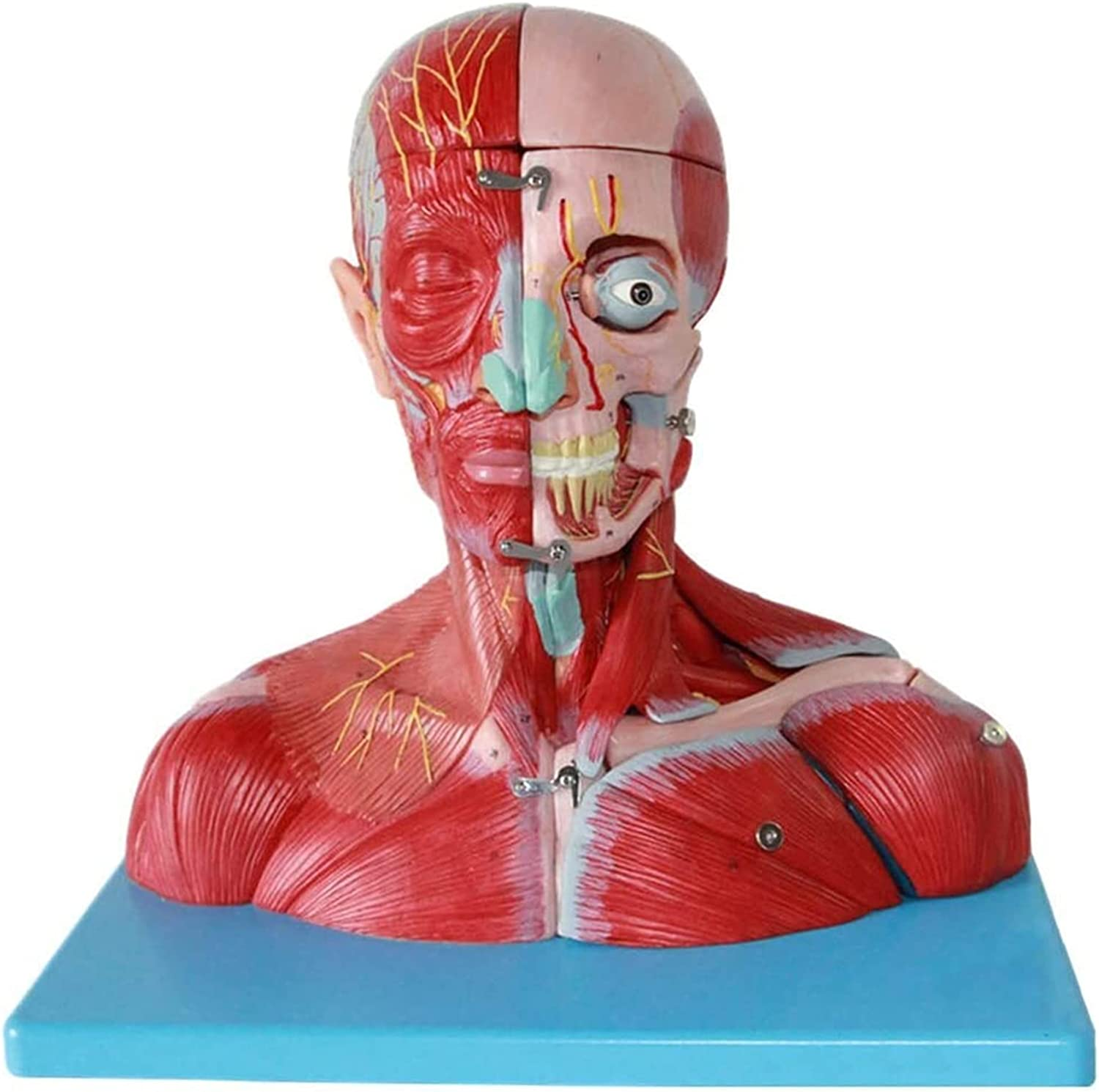 Neck Muscle 1 year warranty Model Vascular Max 55% OFF Nerve Detachable Attached Brain