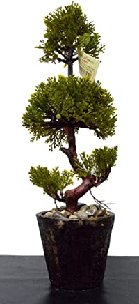 VATIKA FLOWERS Large Artificial Bonsai Tree with Beautiful Grass Leaves Wooden Pot 36 cm Long for Home, Office, Hotel and Festive Gift