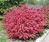 10 Dwarf Burning Bush Hardy Shrub Plants-Euonymus alatus Hardy Shrub Plants