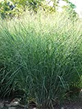 Perennial Farm Marketplace Panicum v. 'Cloud Nine' (Blue Switchgrass) Ornamental Grass, Size-#1 Container, Green Foliage with Airy Blooms