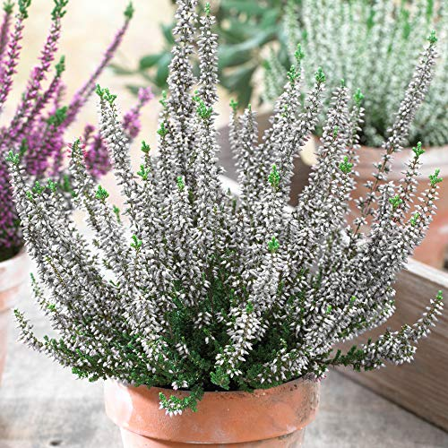Calluna Beauty Ladies White Heathers | Evergreen Flowering Outdoor Garden Plants (12 Pack)