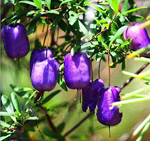 bonsaï nain 50 graines cueillir des fruits délicieux dans votre jardin facile -growing Bonsai FruitFree Livraison 3