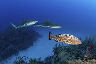 Posterazzi PSTMME400544ULARGE Several Caribbean Sharks and a Goliath Grouper Swimming Along The Reef Jardines De La Reina Cuba Poster Print, 34 x 22
