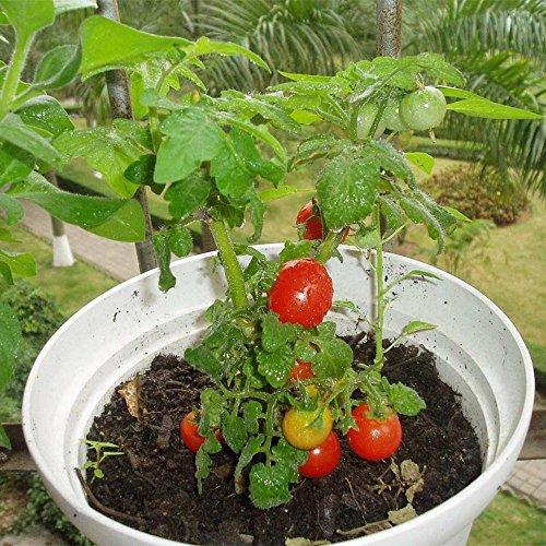Graines de tomates KAYI pour planter des graines de légumes de tomate rouge pour l'horticulture à la maison Jardinage 30 pcs / paquet