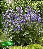 BALDUR-Garten Katzenminze'Nepeta Neptune' duftend, 2 Pflanzen winterhart