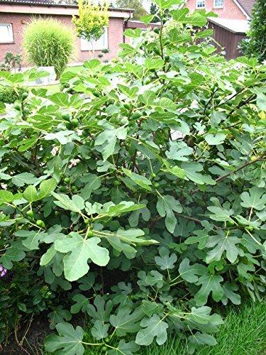 winterharte eßbare Feige, Ficus carica Brown Turkey 80-100 cm hoch im 5 Liter Pflanzcontainer