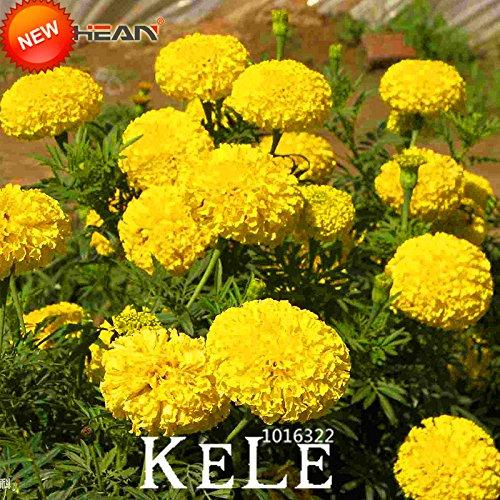 Nouveaux graines fraîches jaune Pétales Maidenhair fleurs Graines Potted Garden Chrysanthemum Marigold Bonsai Graines 50 Pcs / Lot, # PODJ6O